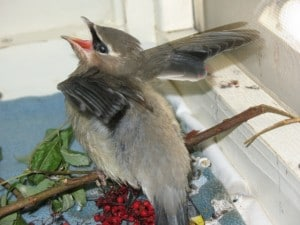 Hungry Young Cedar Waxwing