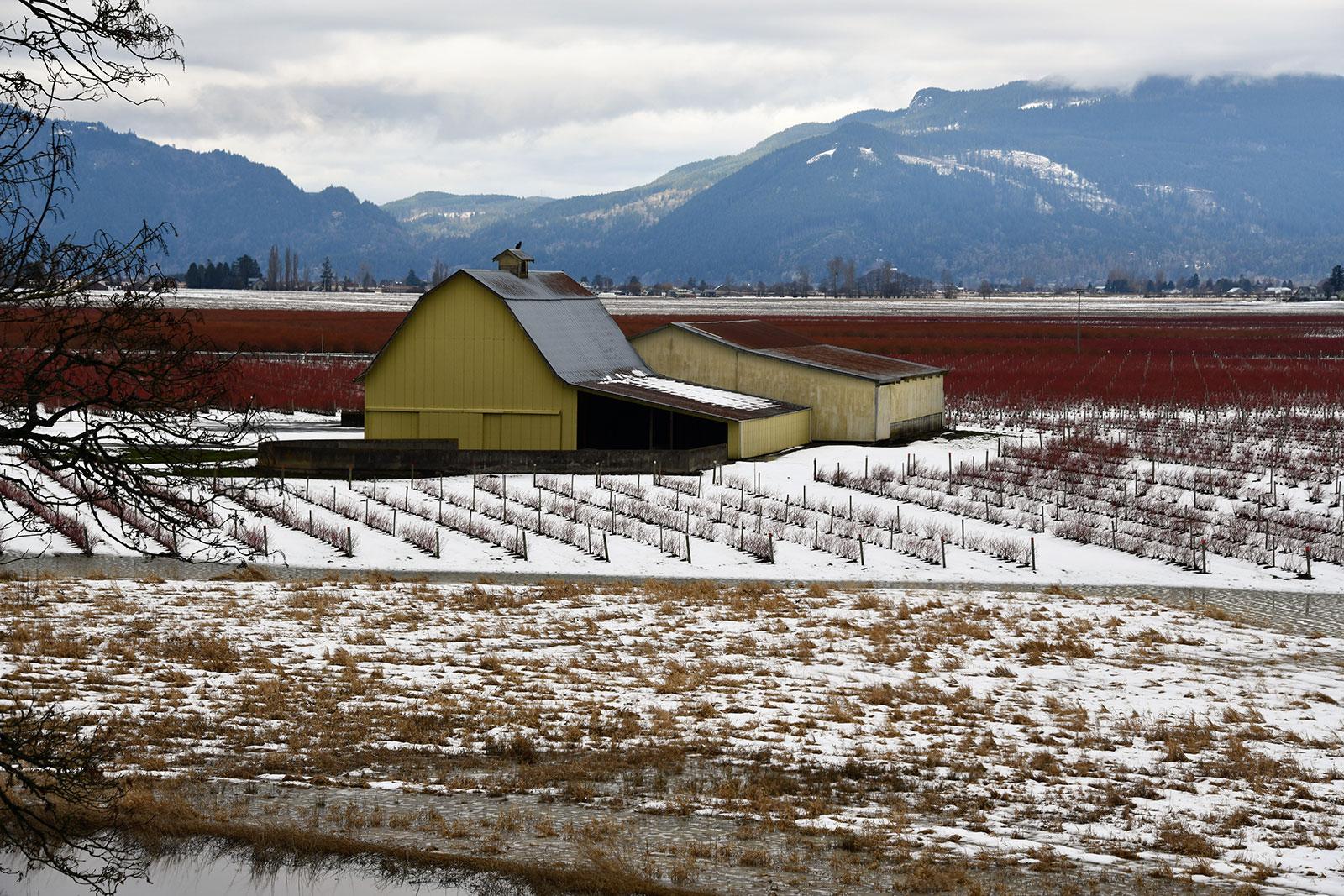 Skagit Valley Blueberry Farm