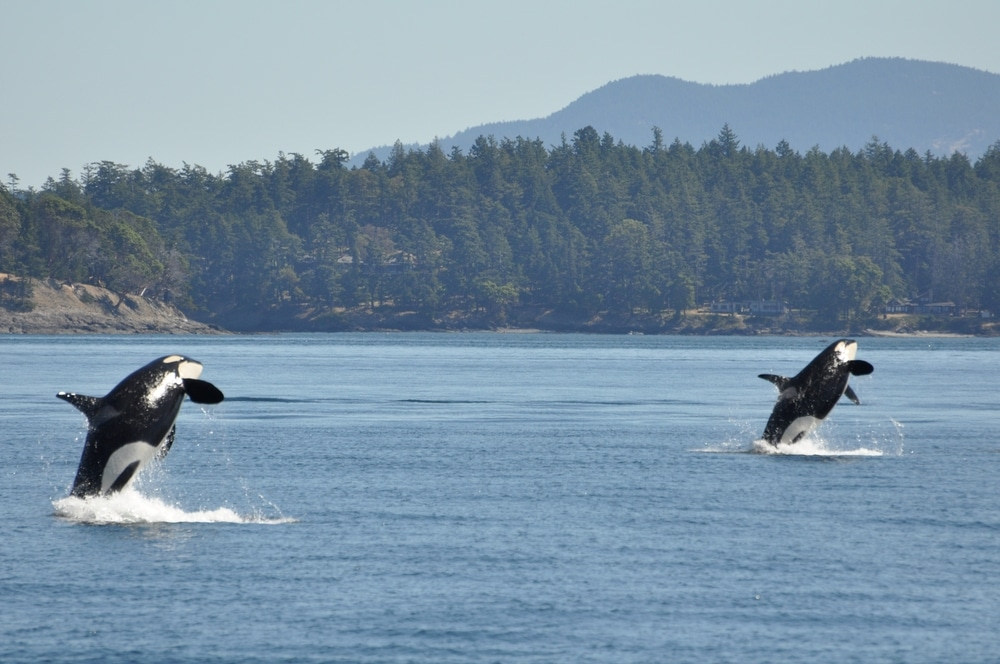 Summer is the best tie to visit the San Juan Islands, where you can see Orcas like this!