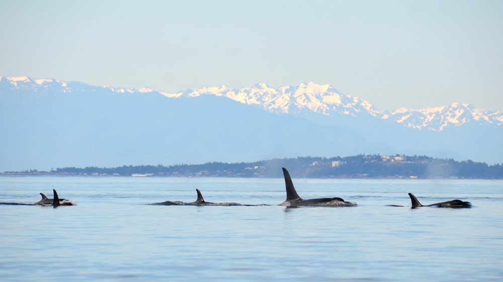 See orcas on these whale watching tours in the san juan islands